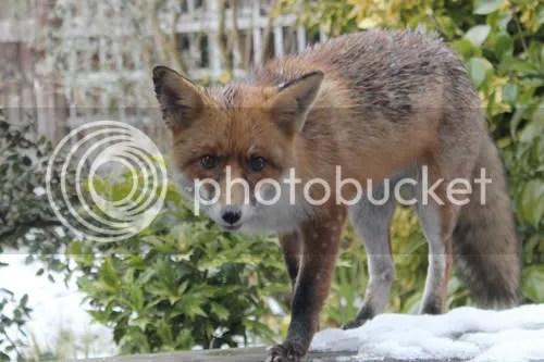cheltenham garden fox 2