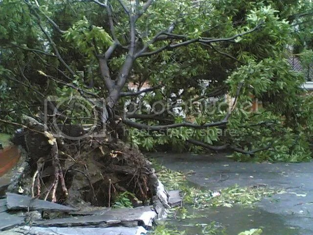 Uprooted tree in front of the Rizal Coliseum main gate