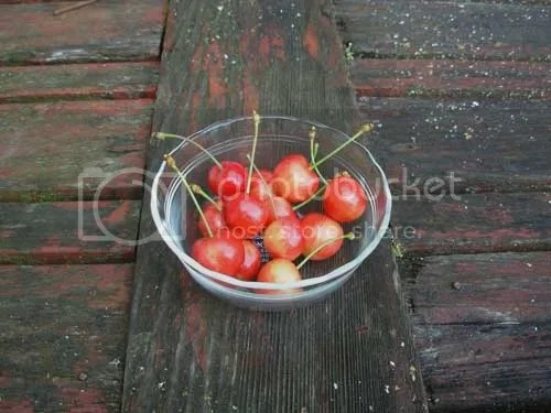 Backyard Cherries