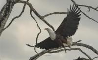 fish eagle by Chikamba