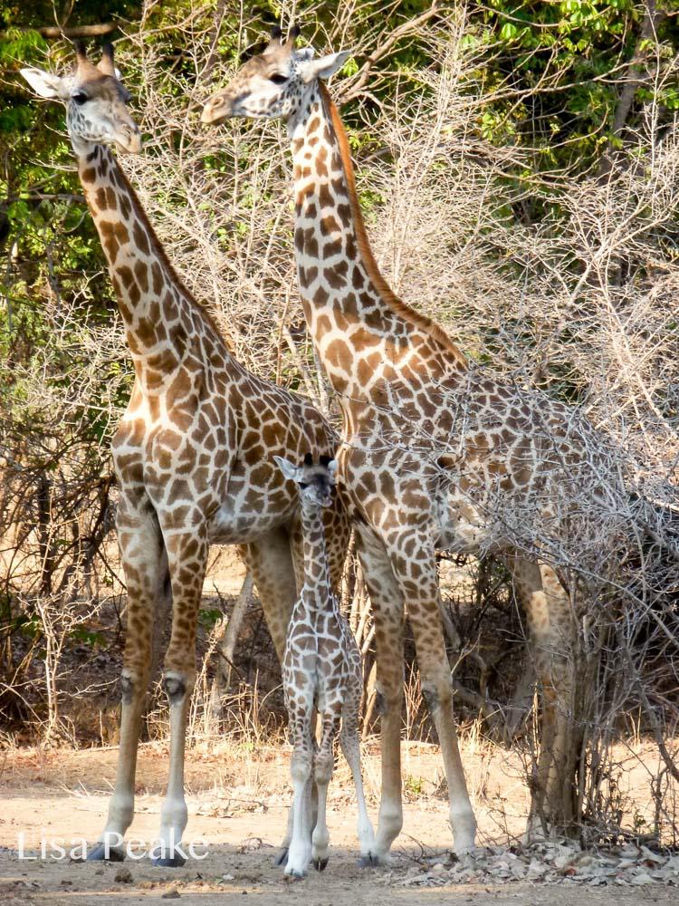 GiraffeLisa3.092144.jpg
