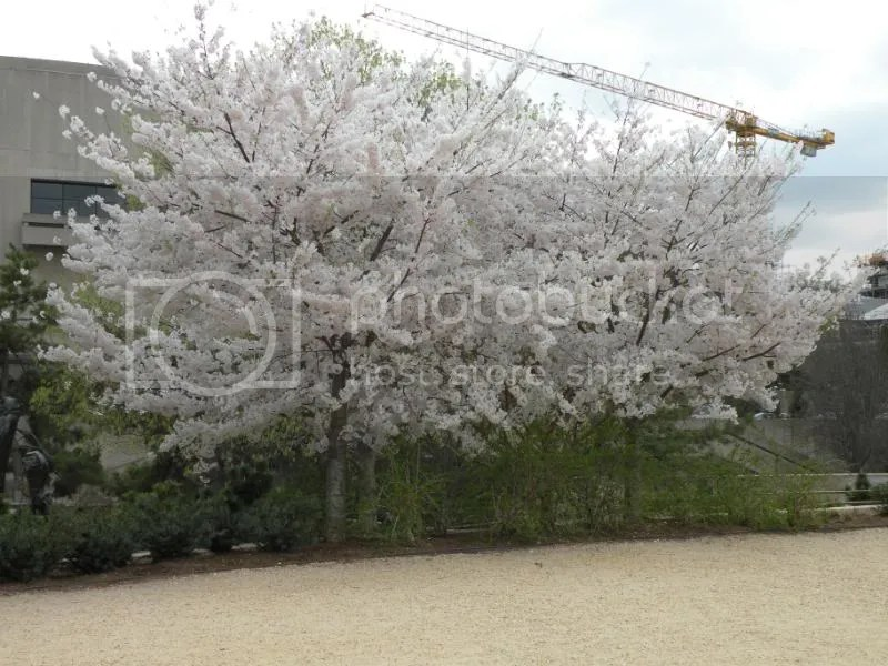 where the crane photobombs the cherry trees