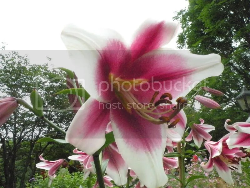 fragrant lillies in full cry