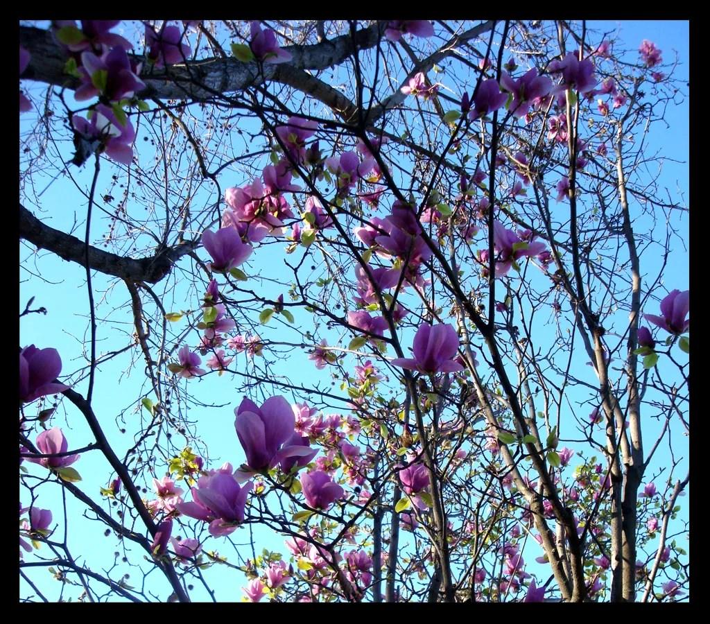 photo Magnolias_zpsd0de57e9.jpg