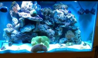 Carpet Anemone Care - Reef Central Online Community
