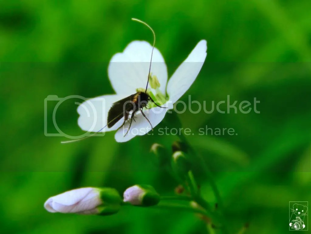 Insect with really huge antennaes on a white flower in Germany, Lauterbach Park