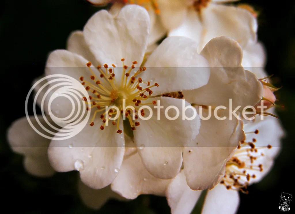 White wild roses in Kelheim Bavaria (Bayern) in Germany