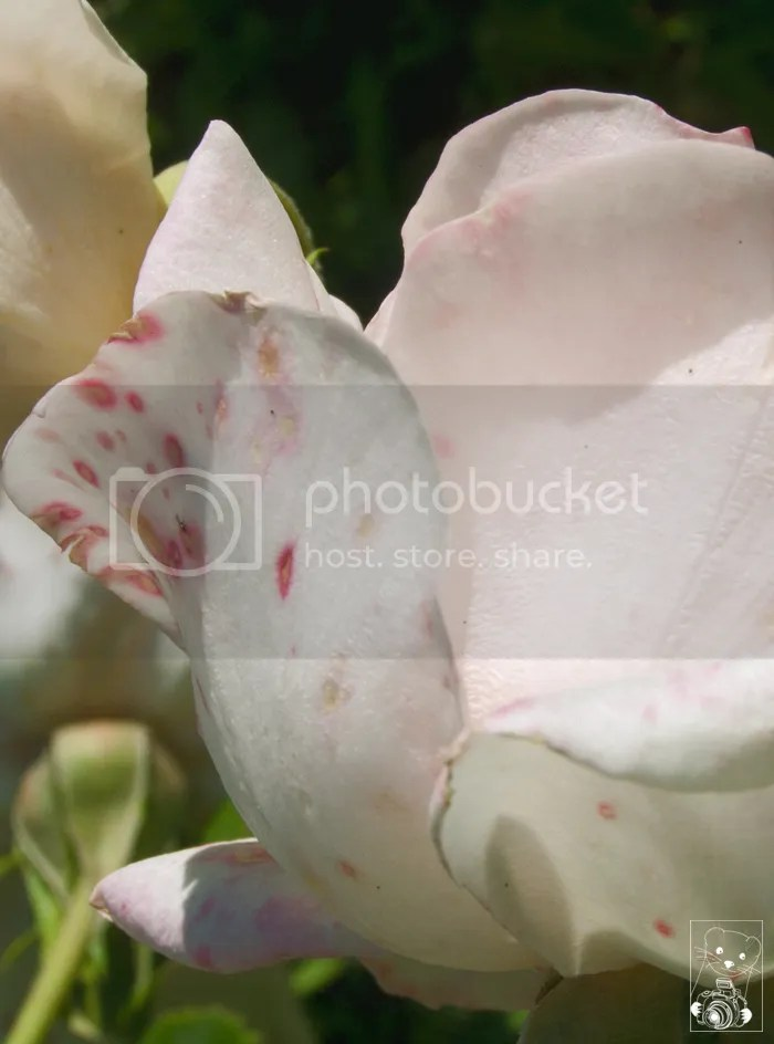 White rose with pink spots