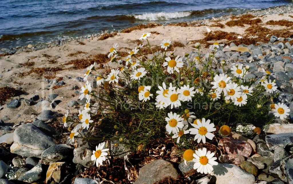 Wild camomille flowers on the beach on Bug Peninsula on Island Rügen at the Baltic Sea, in Germany