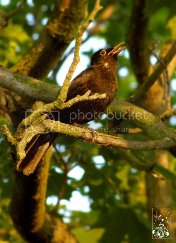 Common European blackbird, ouzel, merle, singing on a tree branch in Germany.