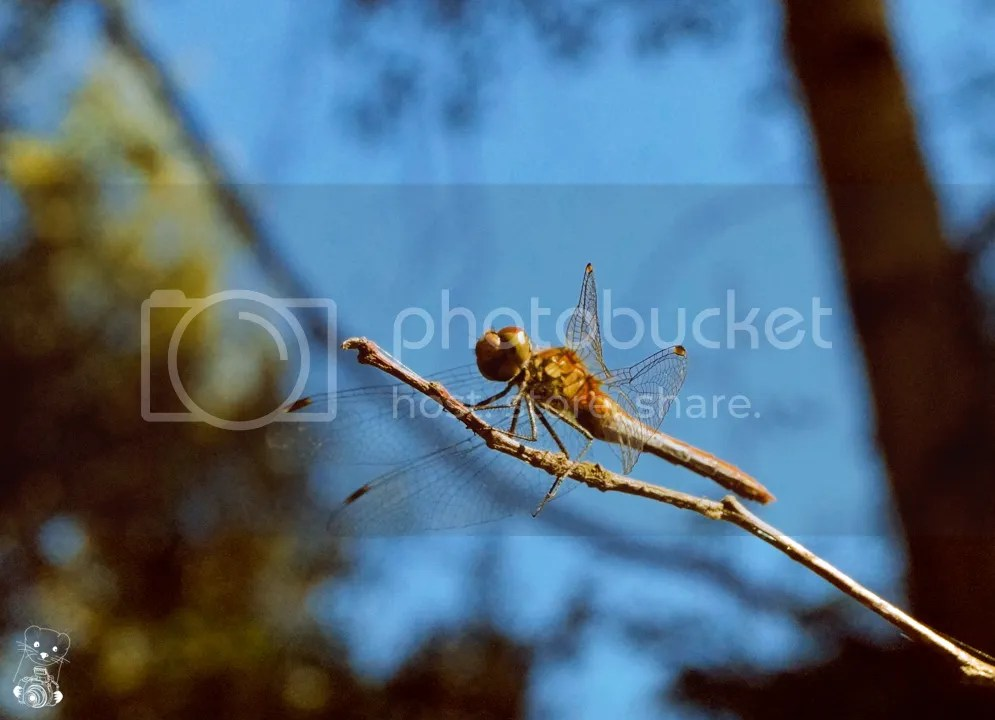 A dragon-fly resting on a branch in the morning sun at Senftemberg, in Germany