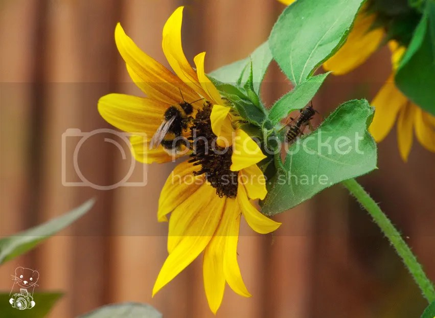Bee on a sun-flower in Krabat, Schwarzkollm, Saxony, Germany