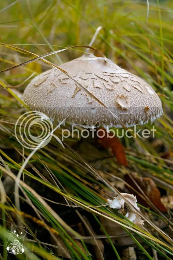 Agaricus silvaticus - Blushing Wood Mushroom - Scaly Wood Mushroom - Pinewood Mushroom in Laußnitzer Heide in Saxony, Germany