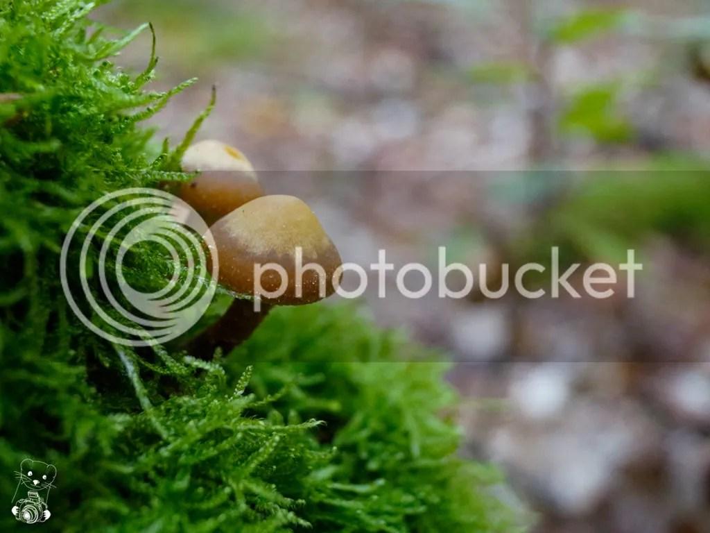 Laußnitzer Heide, Saxony, Germany - Strobilurus esculentus - spruce cone toadstool