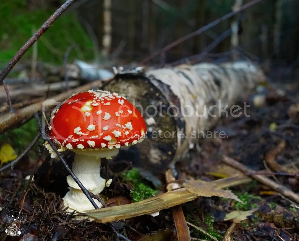 Amanita muscaria -  fly agaric or fly amanita - Tharander Wald in Germany, Saxony