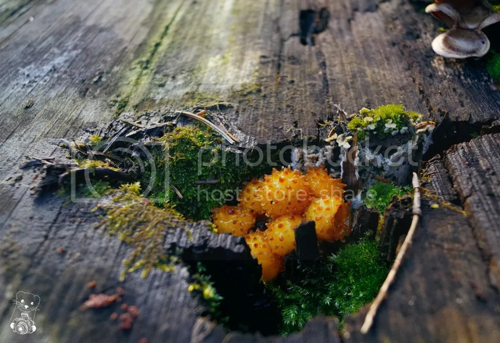 Pholiota squarrosa, the Scaly Pholiota growing in the split of a wooden log in the forest in Tharand, Saxony, Germany