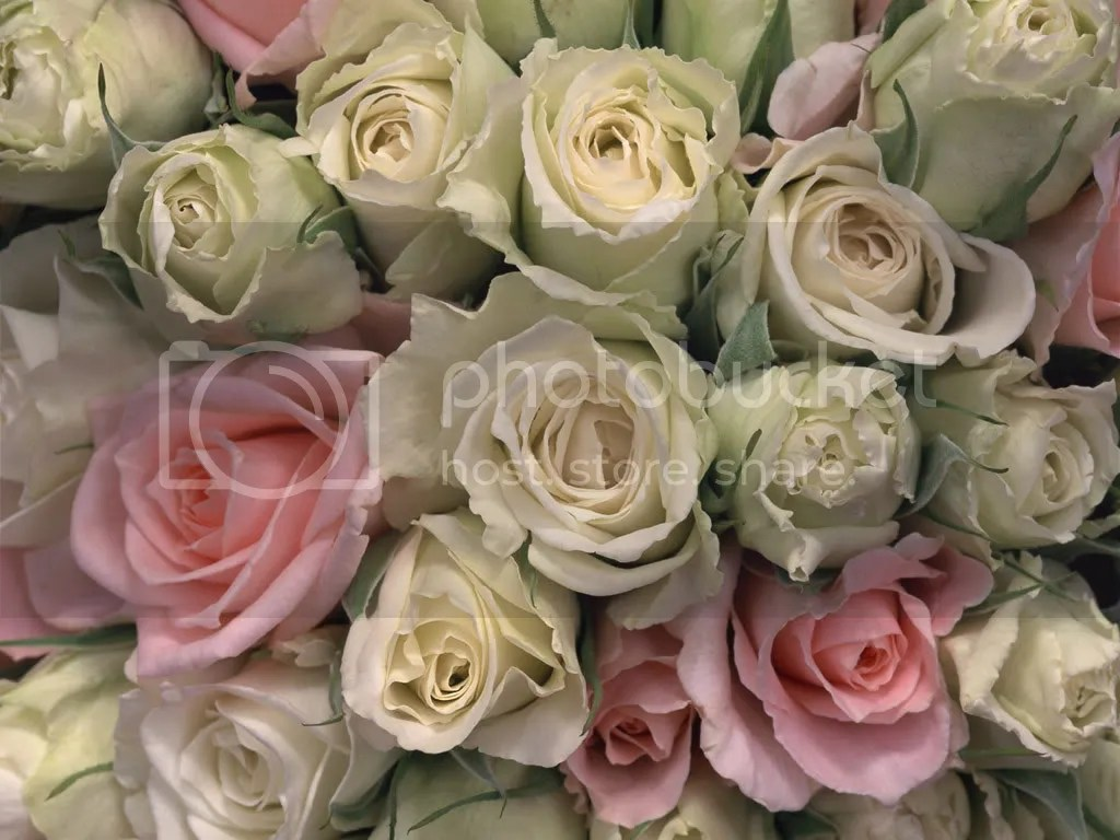 roses Pictures, Images and Photos