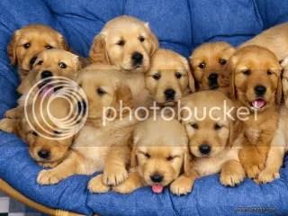 puppies photo: Puppies golden-retriever-puppies.jpg