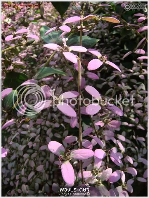 พวงประดิษฐ์, เครือออน, Congea tomentosa, ออนแดง, Lavender Wreath, Shower Orchid, พญาโจร, พลูหีบ, ไม้เลื้อย, ไม้ดอก, ไม้ประดับ, ต้นไม้, ดอกไม้, aKitia.Com