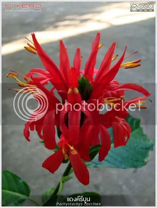 แดงคีรีบูน, คีรีบูนแดง, Pachystachys coccinea, ดอกสีแดง, ไม้พุ่ม, ต้นไม้, ดอกไม้, Jacobinia coccinea, Justicia coccinea, Cardinal's Guard, aKitia.Com