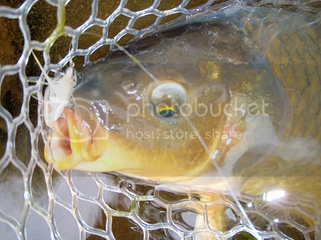 carp045.jpg picture by Bentrod2010