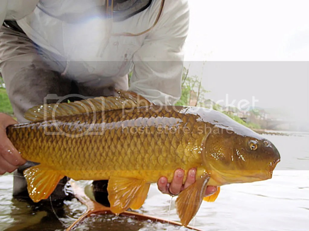 carp052.jpg picture by Bentrod2010