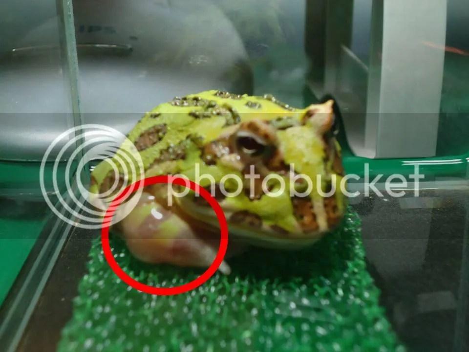 綠角蛙前腳腫大 - 蛙類(無尾目)交流討論板