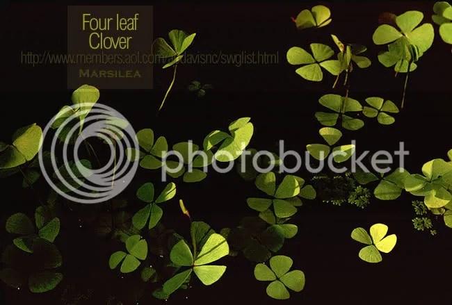 Four leaf clover, Marsilea