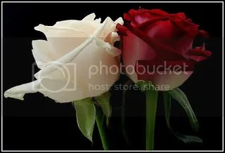 red & white roses Pictures, Images and Photos