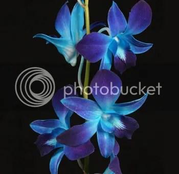 Blue Orchid Flower Photo by jendiva21  Photobucket