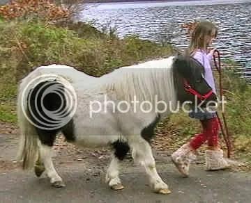 Shetland Pony, picture by gotpetonline.com