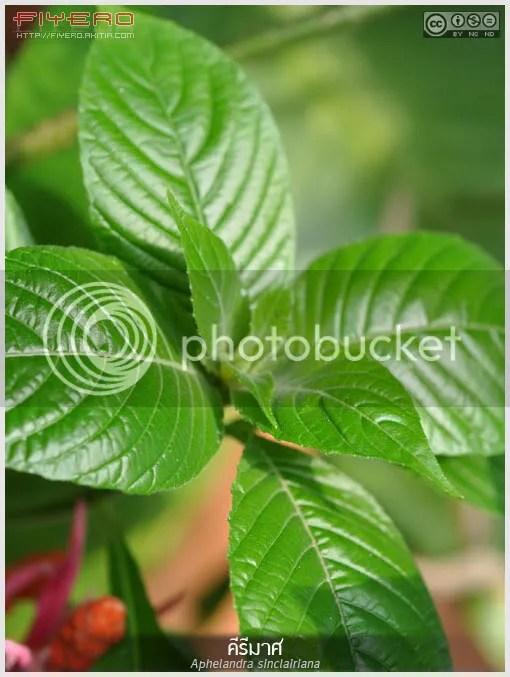 คีรีมาศ, ส้มบริพัตร, Aphelandra sinclairiana, ไม้ดอกหอม, ไม้แปลก, ไม้หายาก, Coral Aphelandra, Panama Queen, ต้นไม้, ดอกไม้, aKitia.Com