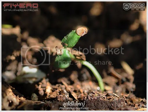 ลูกใต้ใบใหญ่, ลูกใต้ใบ, Phyllanthus buxifolius, ไม้ใบ, ไม้แปลก, ไม้หายาก, ไม้ประดับ, ต้นไม้, ดอกไม้, aKitia.Com