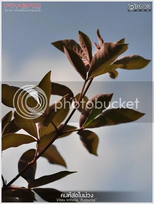 คนทีสอใบม่วง, คนทีสอ, Vitex trifolia Purpurea, ไม้ดอกหอม,  ไม้หายาก, ดินสอ, ผีเสื้อ, ผีเสื้อน้อย, สีสอ, ดอกสมุทร, สมุนไพร, ไม้ดอก,  ดอกสีม่วง, Arabian Lilac, ต้นไม้, ดอกไม้, aKitia.Com