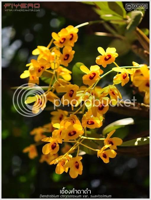 เอื้องคำตาดำ, เอื้องคำตา, Dendrobium chrysotoxum var. suavissimum, กล้วยไม้ไทย, ไม้ดอกอม, ไม้หายาก, ดอกสีเหลือง, ดอกไม้, aKitia.Com