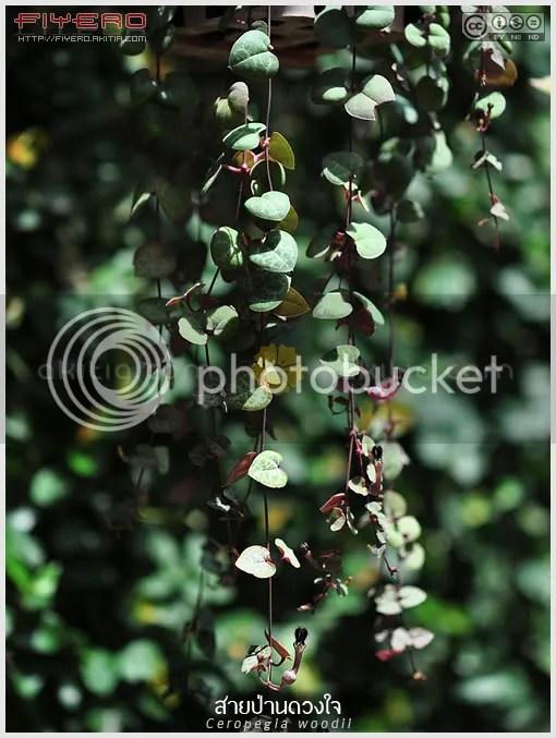 สายป่านดวใจ, String of Hearts, Ceropegia woodii, ไม้อิงอาศัย, ไม้อวบน้ำ, Chain of Hearts, Collar of hearts, String of hearts, Rosary vine, ต้นไม้, ดอกไม้, aKitia.Com
