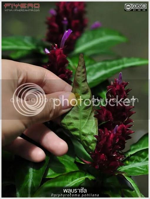 พลุบราซิล, พู่จอมพล, พู่จอมพลสายพันธุ์ใหม่, Porphyrocoma pohliana, Justicia scheidweileri, Brazilian Fireworks, ไม้ดอก, ไม้ประดับ, ไม้แปลก, ไม้พุ่ม, ไม้ในร่ม, ดอกสีม่วง, ต้นไม้, ดอกไม้, aKitia.Com