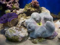 new carpet anemone, How often to feed - Reef Central ...