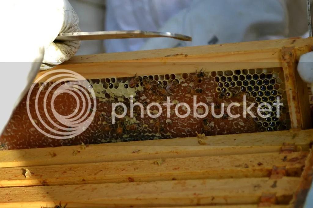 photo Bees27_zpsnqkfvr0i.jpg
