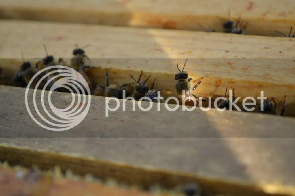 photo Bees29_zpsthg7pese.jpg