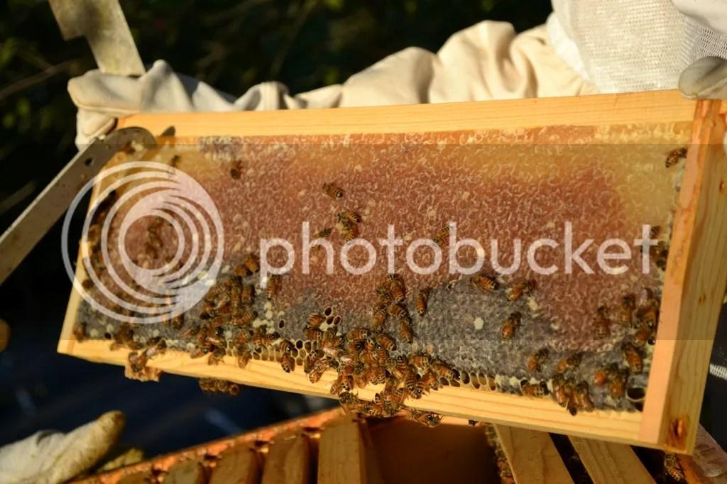photo Bees3_zps7wixzpp4.jpg