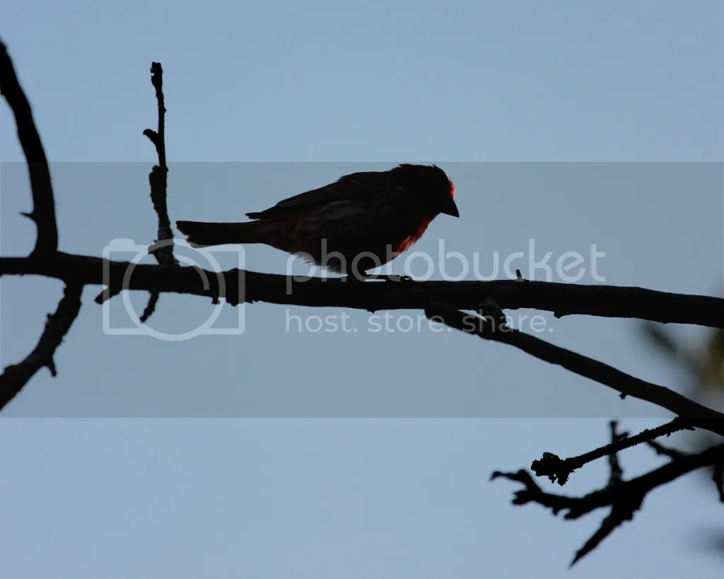 Purple Finch on bare branch, against blue sky