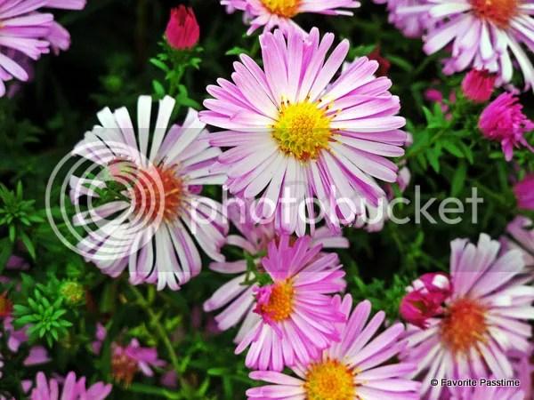 Pink Alpine Aster