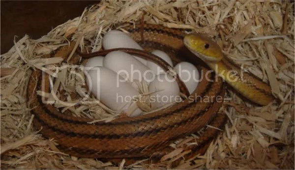 What Do Rat Snake Eggs Look