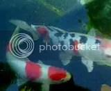 Ikan di kolam taman hias