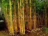 bambu kuning,Bambu panda