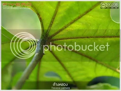 ต้างหลวง, ต้างป่า, Trevesia palmata, ต้างผา, ไม้โชว์ใบ, ARALIACEAE, ไม้หายาก, ไม้แปลก, ไม่พุ่ม, ต้นไม้, ดอกไม้, aKitia.Com