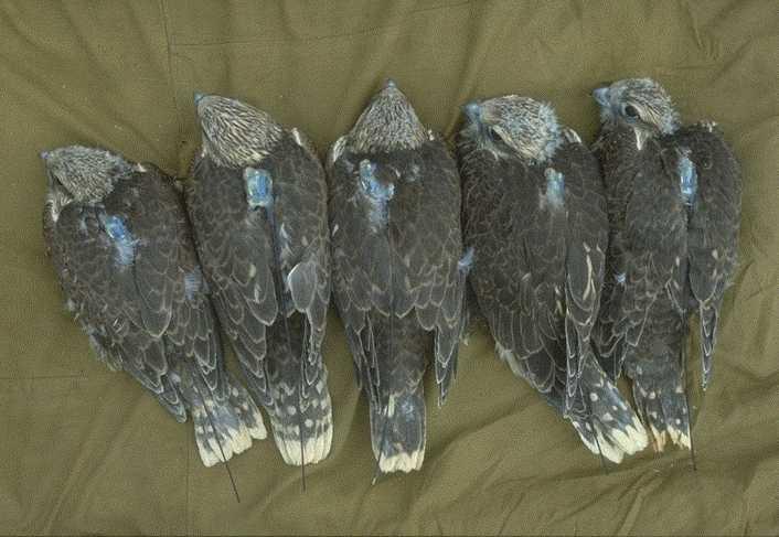 The Saker Falcon Global Action Plan