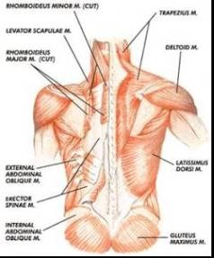 Name Of Lower Back Muscles : lower, muscles, Injuries, Fighter