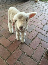 Bottle Lamb Visiting the AGM